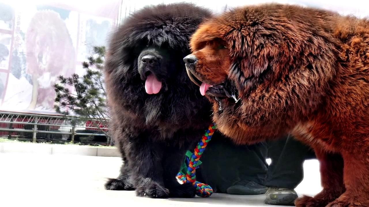 Tibetan Mastiff Dog Breed Price In India