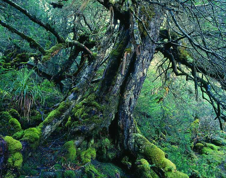 Old Huon Pine