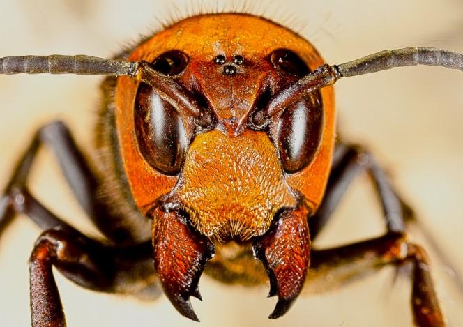 Japanese giant hornet size