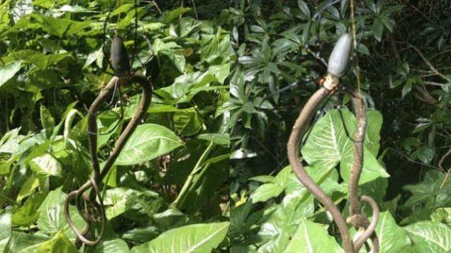 Snake Eating Spider