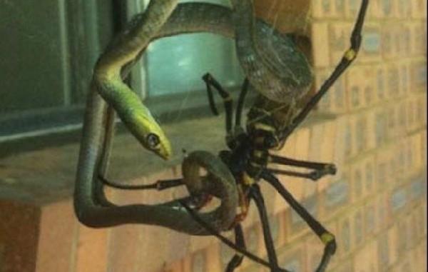 Giant Orb Weaving Spider
