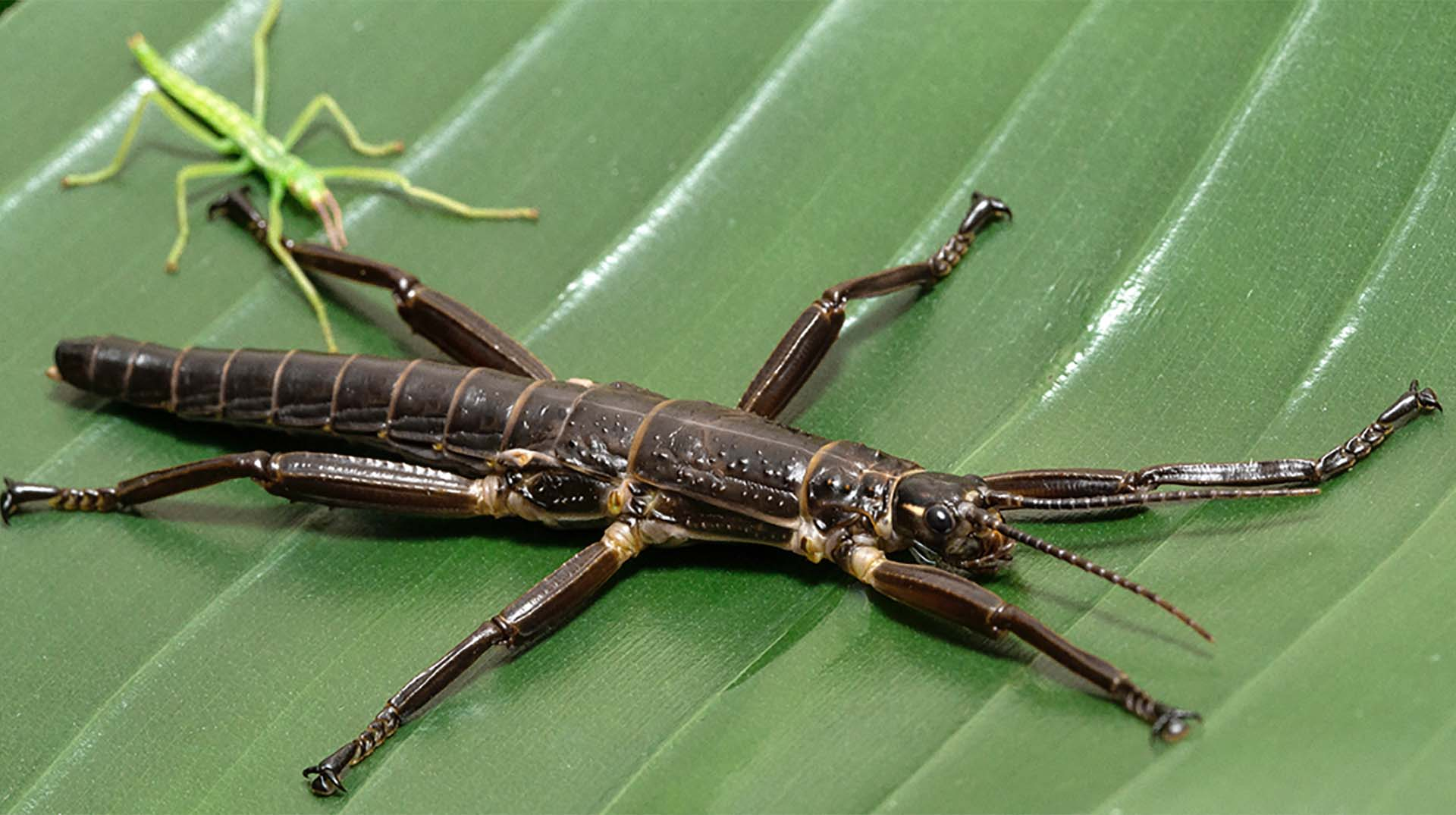 The Lord Howe Stick Insect1