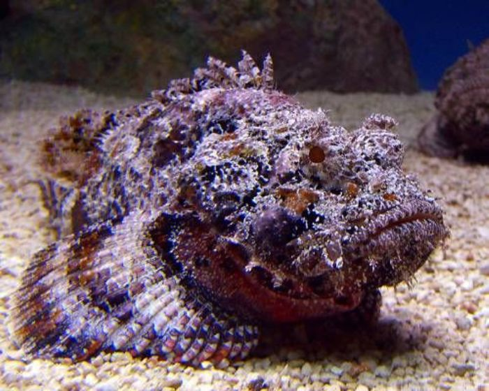 These are the most dangerous species worldwide page 25 for Stone fish facts