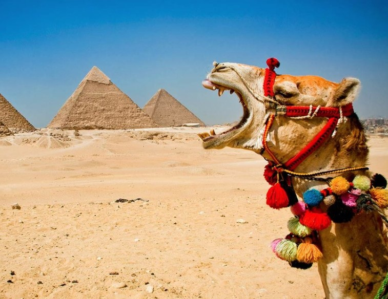 Camels Store Water In Their Humps