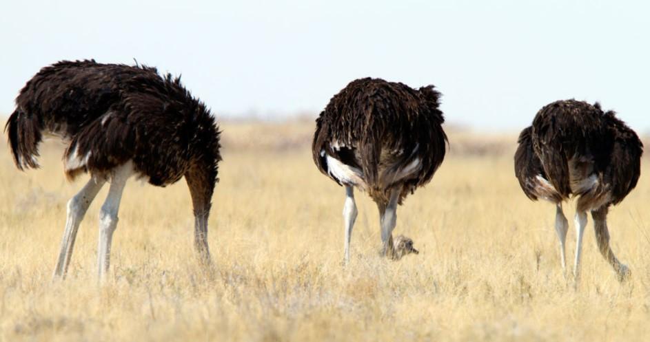 Ostriches Bury Their Heads In The Sand When Afraid