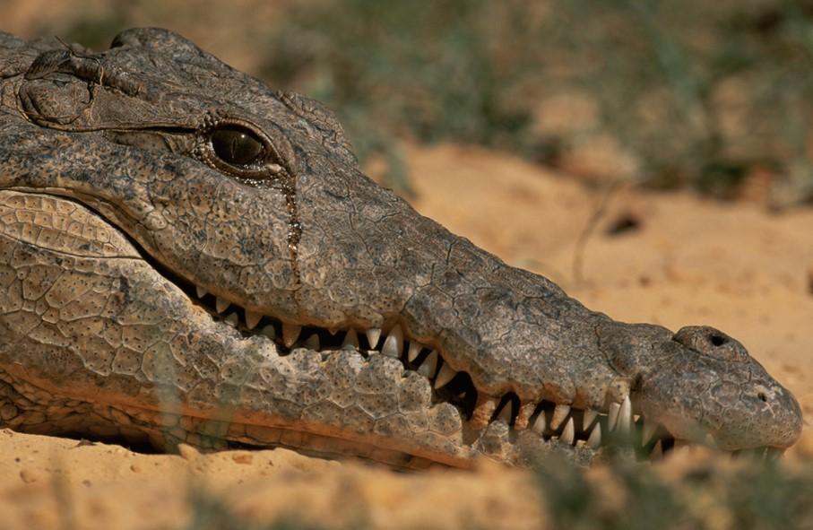 Crocodiles Cry