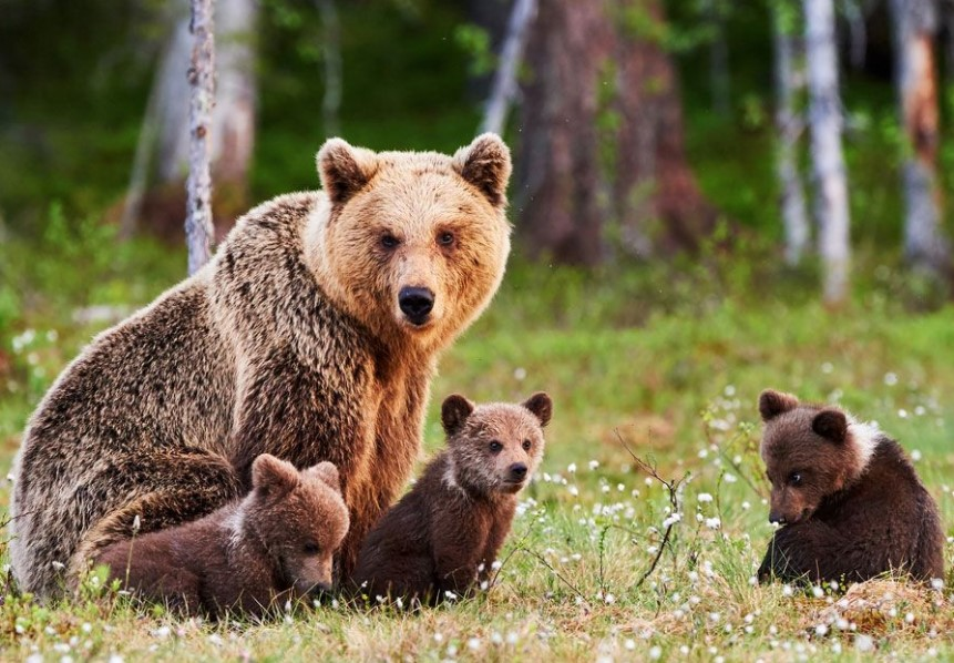 Bears Hibernate Throughout The Winter