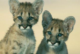 Eastern Cougar1