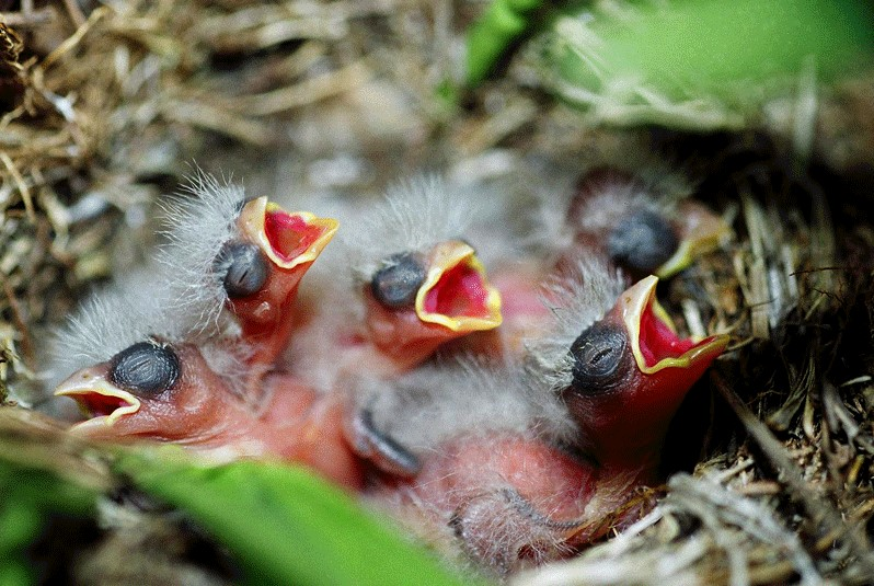 Mother Birds Will Neglect Their Chicks If You Touch Them
