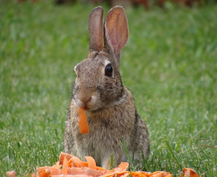 Rabbits Only Eat Carrots