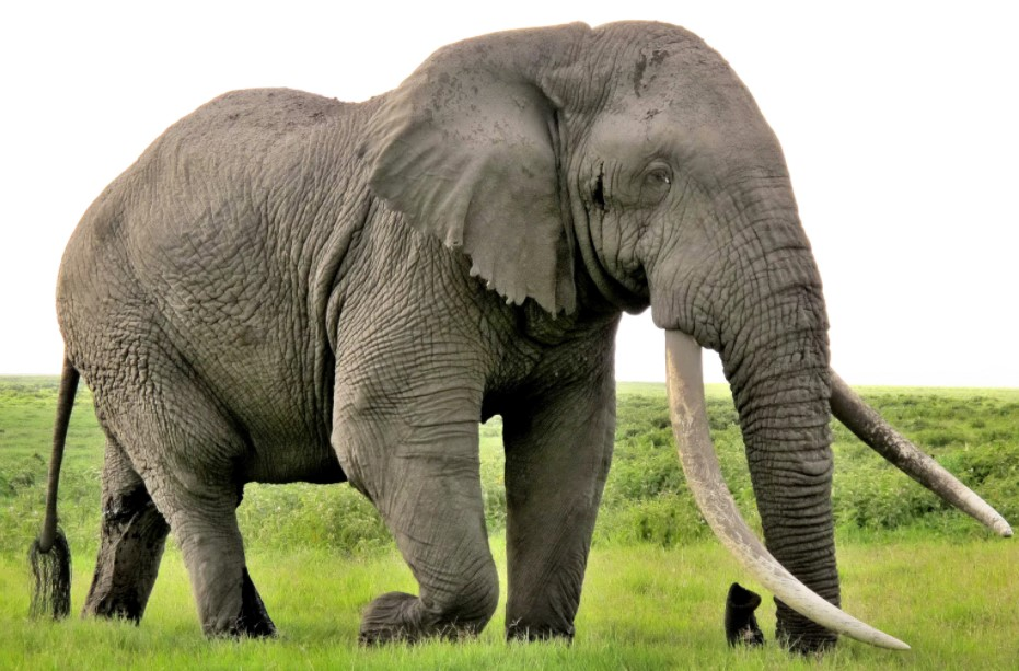 Elephants Are Safer In Captivity