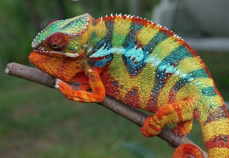 Chameleons Change Their Colors To Blend In