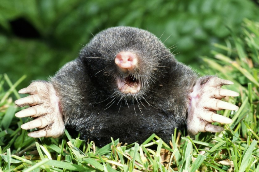 Moles Are Blind