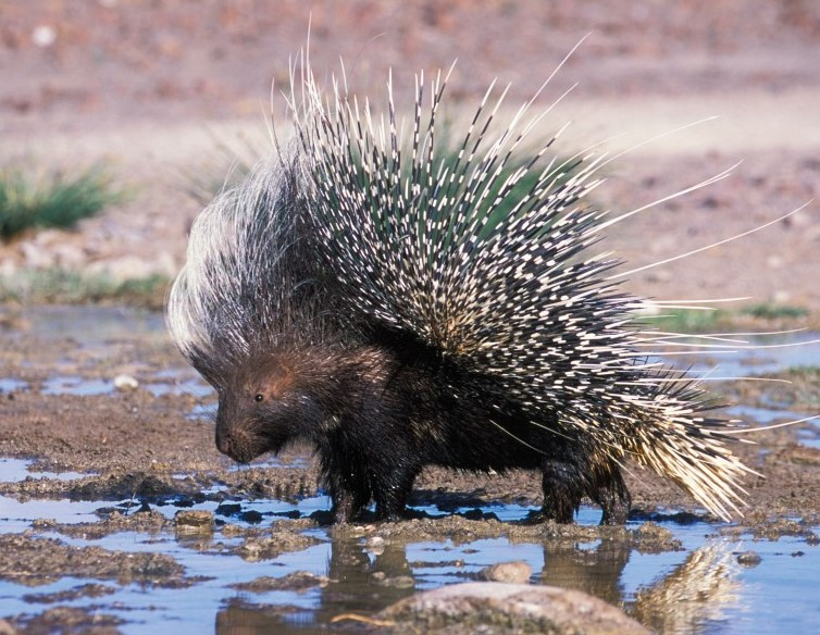 Porcupines Shoot Their Quills