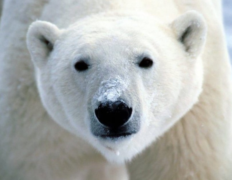 Polar Bears Cover Their Noses While Hunting