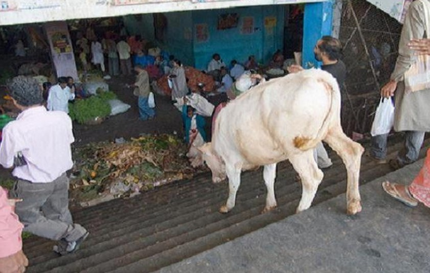 Cows Cant Walk Down Stairs
