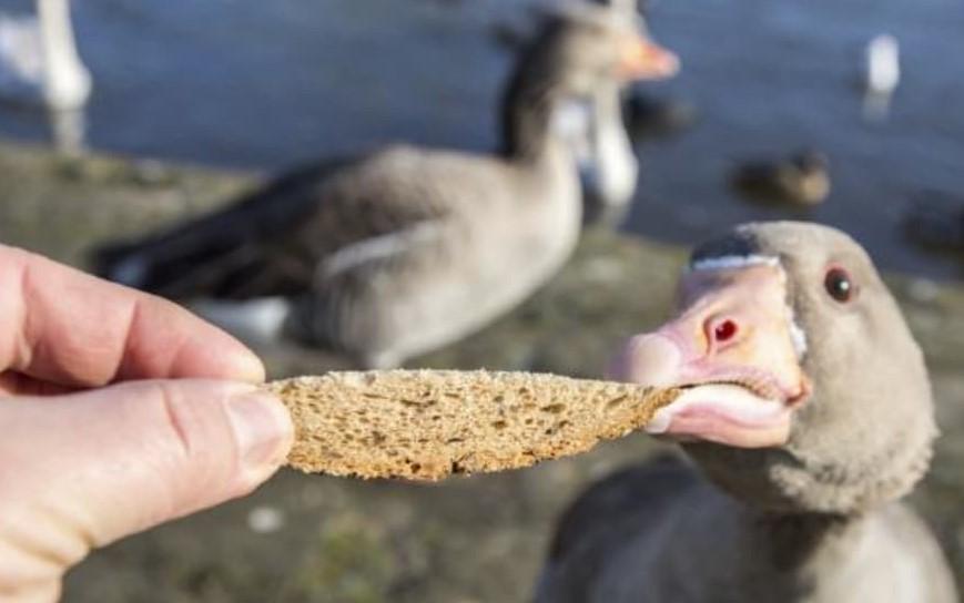 Feed Ducks Bread